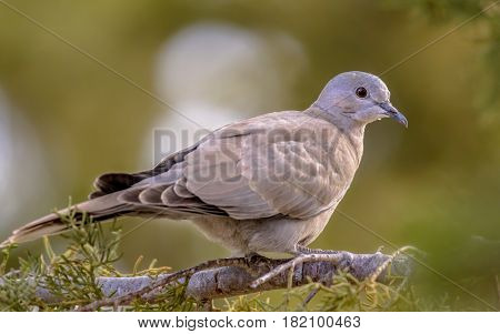 Juvenile Eurasian Collared Dove On  Branch Of Conifer