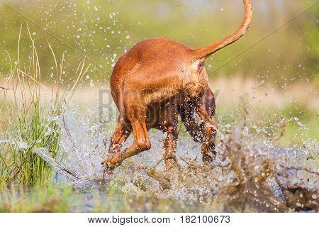 Backside Of A Rhodesian Ridgeback In Water