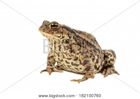 Toad On White