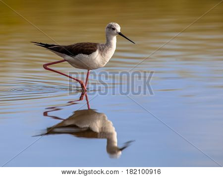 Black Winged Stilt In Reflecting Water