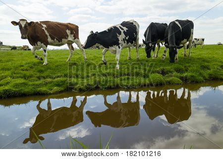 Happy walking cows in the meadow in Holland