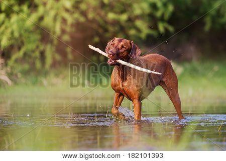 Rhodesian Ridgeback Walking In The Water