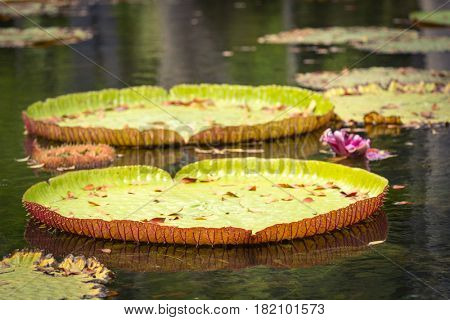 Giant Waterlilies in Mauritius Botanical gardens