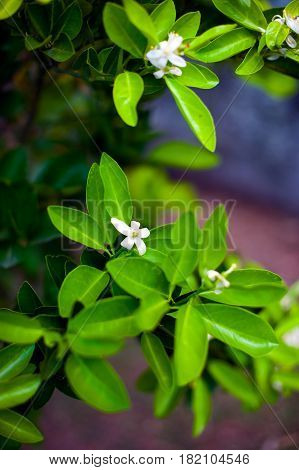 Orange blossom over nature leaf background beautiful spring flowers of fleur d'orange