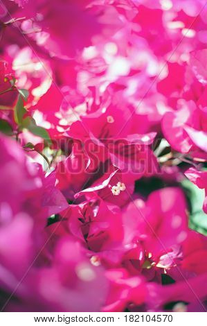 Bougainvillea plant over nature background beautiful pink spring flowers