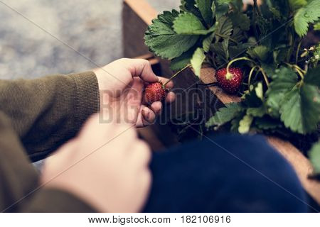 Hands picking organic fresh agricultural strawberry