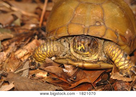 A portrait of a three toed box turtle found in the woods. poster
