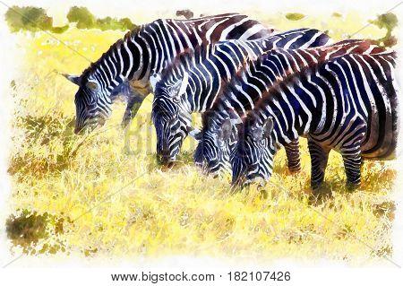 Equus quagga Zebra, Ngorongoro Conservation Area, Tanzania