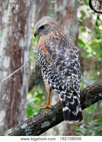 Red Shouldered Hawk at Corkscrew Swamp Sanctuary Florida