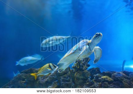 Big sea turtle and fishes in oceanarium