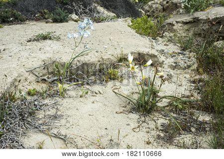 Ananuca Flowers In Atacama Desert, Chile. The Event Flowering Desert (spanish: Desierto Florido) Is