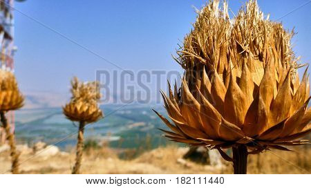 Big Dried Bur In The Desert