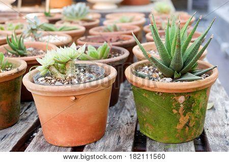 Aloe Vera Aloin Barbados Jafferabad Star Cactus in pot