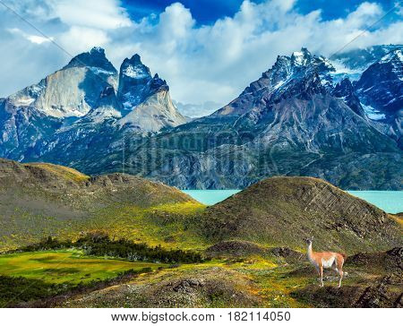 Guanaco near the cliffs of Los Cuernos. Mountains and lake in Torres del Paine National Park, Chile. The concept of active and extreme tourism
