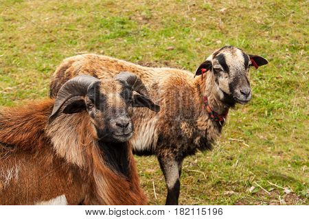 Breeding sheep on the farm. Cameroon sheep on pasture