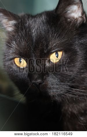 Cute muzzle black cat with yellow eyes close-up. Portrait at home.