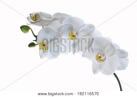 Beautiful white orchid flower isolated on white background