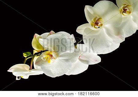 Beautiful white orchid  isolated on black background