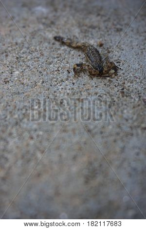 close up death brown scorpion on concrete floor