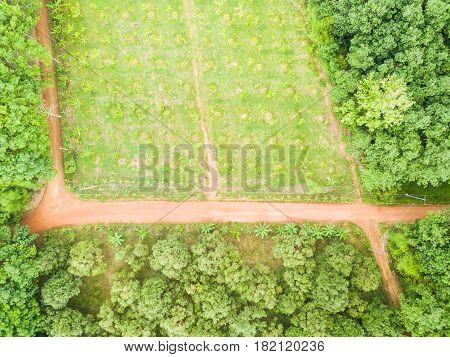 Banana Trees Orchard And Rubber Trees Plantation