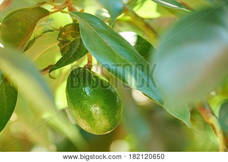 One Avocado Fruit Hang On Tree