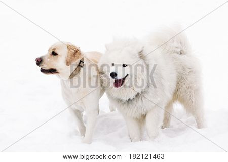 Two thoroughbred dogs Samoyed and Labrador stand side by side