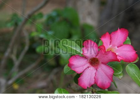 close up pink Impala Lily flower in the garden