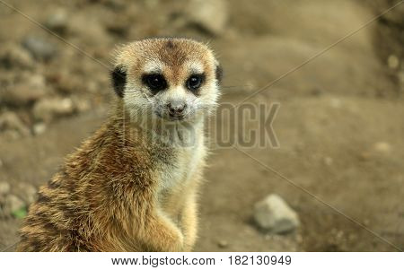 Single Meerkat Looking