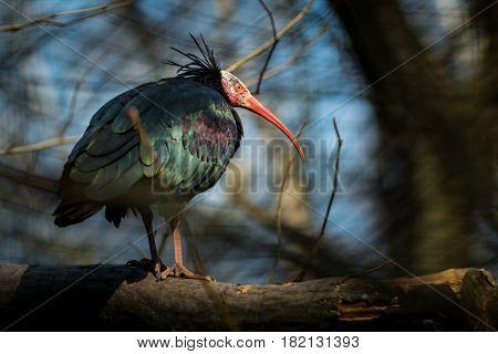 Bird the Northern bald ibis (Geronticus eremita) on tree