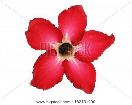 red Impala Lily flower (Desert Rose) isolated on white background