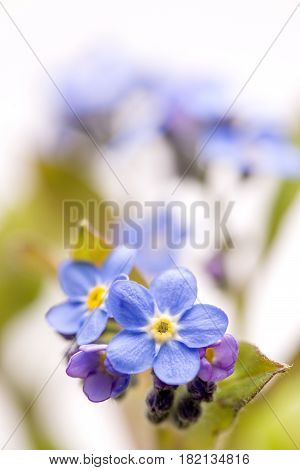 Close up blue Forget-me-not flowers in vertical composition