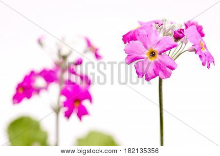 Pink primula flower in front of white background