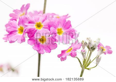 Close up pink primula flower in front of white background