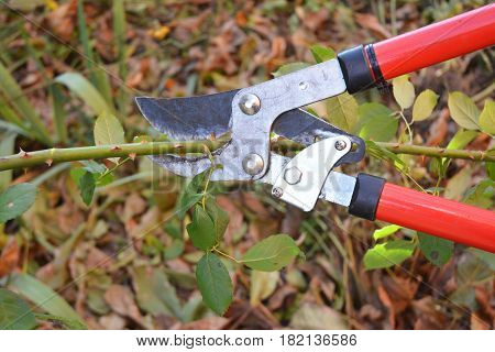 Rose pruning. Gardener Prune Climbing Roses. How to Prune Roses Bush in your Garden.