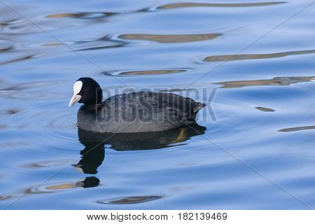 Eurasian coot Fulica atra swimming in pond with reflection close-up portrait selective focus shallow DOF.