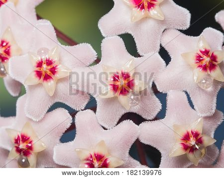 Porcelainflower or wax plant Hoya Carnosa flowers with nectar drops macro selective focus shallow DOF.