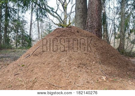 Huge anthill in forest at the spring time. Estonia
