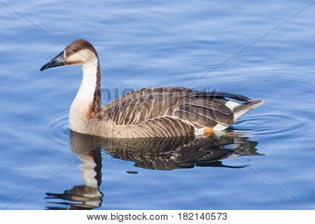 Greater white-fronted goose Anser albifrons swimming in pond close-up portrait with reflection selective focus shallow DOF.