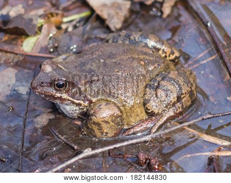 European grass frog or Rana temporaria male in breeding colors at water close-up portrait selective focus shallow DOF.