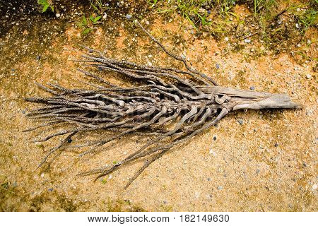 Drought. The dry branch of the oil palm is similar to the skeleton of a fish.