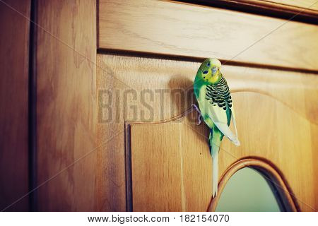 Green parrot sits on the wooden door