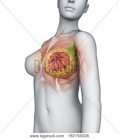 Female Breast Anatomy Illustration . 3D render