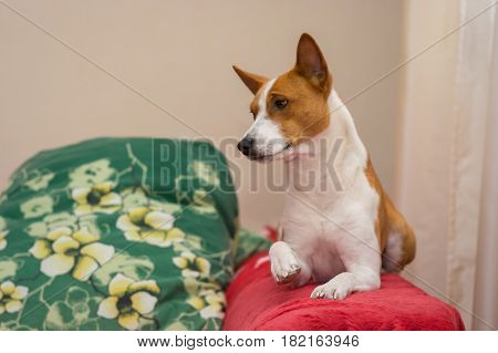 Indoor portrait of royal basenji lying on red bedspread and giving its paw for gratifying kiss