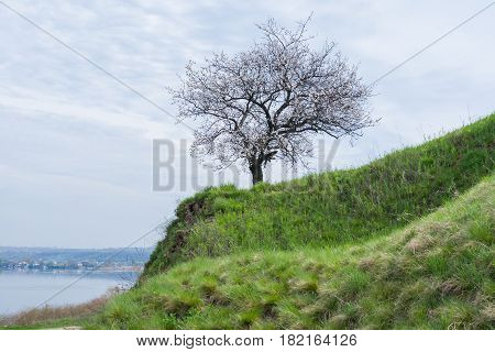 Ukrainian landscape with flowering apricot tree located on Dnepr riverside