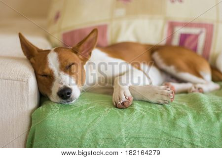 Young Basenji dog sleeping sweet on a sofa