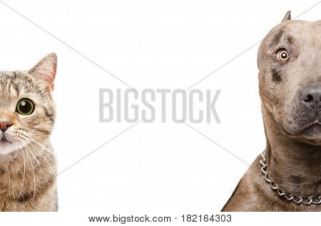 Portrait of a pit bull and Scottish Straight cat, half face, isolated on white background