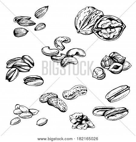 Vector set of hand sketched nuts on white background: hazelnut, almonds, peanuts, walnut, cashew, brazilian nut, chestnut, pistachios