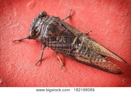 Close Up Cicada On Red Cement Background