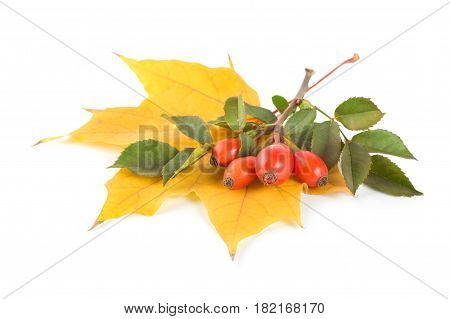Maple leaf and briar isolated on white background