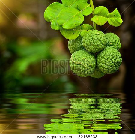 Close Up Group Bergamot On Tree With Reflection